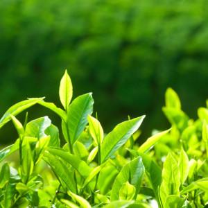 green tea nootropics